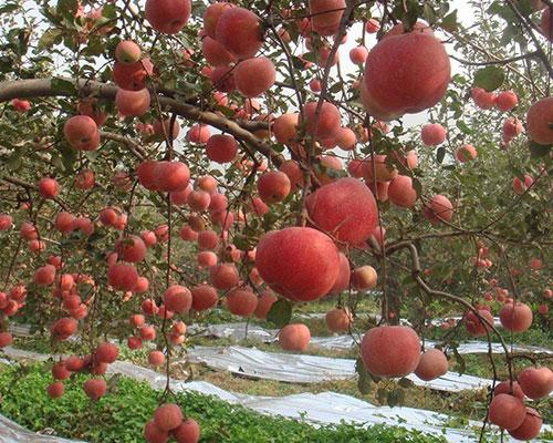 苹果果园基地